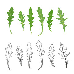 Set of arugula (rucola, rocket salad) fresh green leaves and outlines isolated over white background. Vector hand drawn illustration.