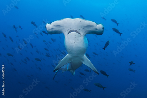 A Scalloped Hammerhead in the Galapagos