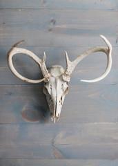 Deer skull with antlers on grey wood wall