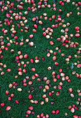 Plums fallen from the tree, onto the grass