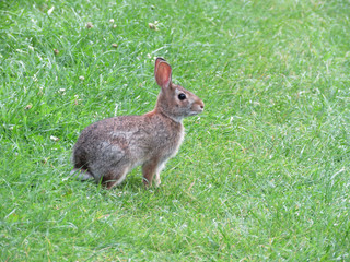 Thornhill eastern cottontail rabbit isolated 2017