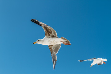 two seagulls in flight