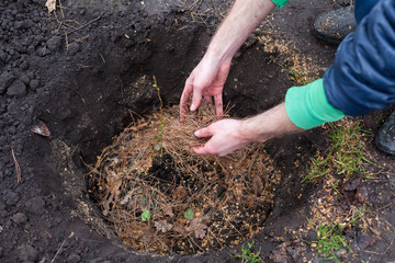 The gardener prepares the ground before planting the bush into the soil