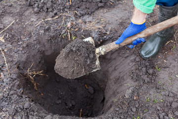 Digging the hole for planting bush in garden.