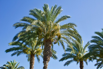 Group of date palm trees against blue sky with copyspace for text for example as background for a postcard