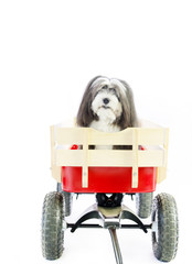 A small black and white furry dog in a little red wagon with a white isolated background.