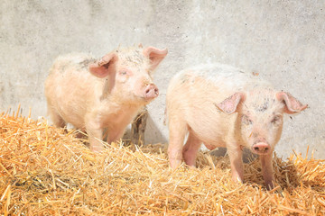 Cute pink pigs on farm in sunny day