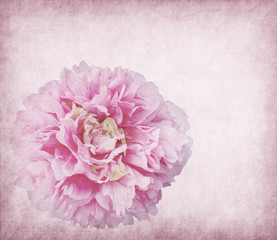 Peony flower close up on paper texture