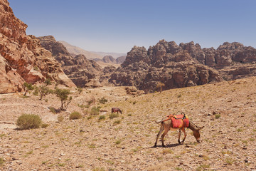 Donkey near Jordan desert and mountains