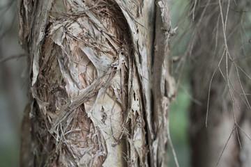 Paper bark tree