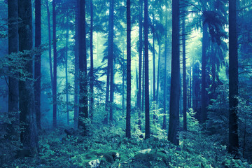 Wall Mural - Dark mysterious blue and green foggy forest tree landscape.