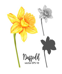 vector realistic daffodil narcissus set isolated