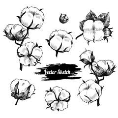 Vector cotton plant  hand drawn sketch. Vintage style