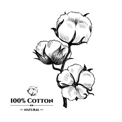 Vector background with  cotton plant . Hand drawn. Vintage style