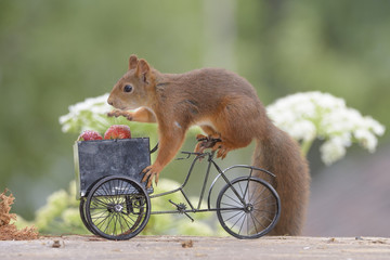 squirrel on a Bicycle with strawberries