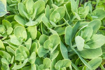 Sedum prominent (Sedum spectabile). Ornamental autumn garden plant