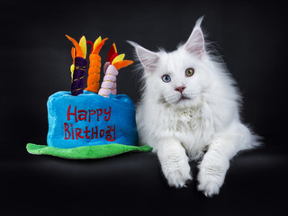 White odd eyed maine coom cat laying isolated on black background with pluche birthday cake