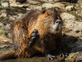 A beaver is cleaning himself by the water
