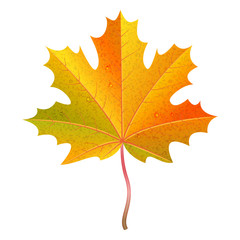 Realistic orange maple leaf with water drops. Autumn vector illustration.