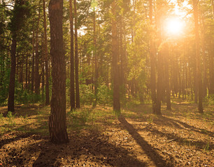 Pine forest in summer at sunset. landscape.