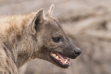 Poster Hyène hyena portrait