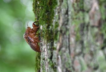 日本の昆虫「蝉の抜け殻」ぼんやりと、活力のない、旅立った、後に残す、心が空っぽ、人生の分岐点などのイメージ
