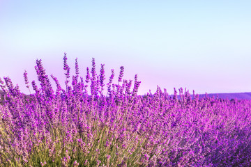 Blooming lavender flowers field with blue sky and copyspace