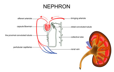 the structure of kidney and nephron