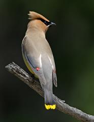 Pretty Bird Perched on a Branch, Cedar Waxwing