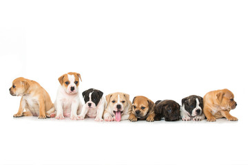 Acht Bulldoggenwelpen