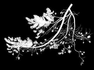white pine tree lush branch on black
