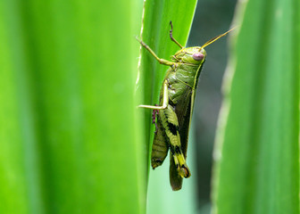 Beautiful Green Grasshopper On Leaves
