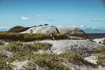 Penguin on Rocks