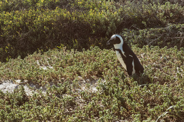 Bolders Beach Penguins