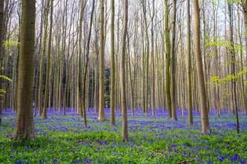 Bluebell flowers in hardwood beech forest in Hallerbos