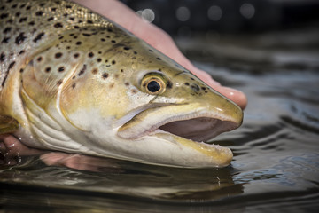 German brown trout in Montana's Madison River.