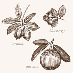 Medical herbs. Arjuna, blueberry, garcinia.