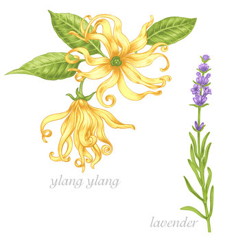 Medical herbs. Ylang, lavender. Set.