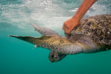 Black Sea Turtles (Chelonia mydas agassizi) being released after a health assessment by researchers. Baja California Sur, Mexico.