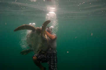 Black Sea Turtles (Chelonia mydas agassizi) undergoing a health assessment by a local fisherman helping scientists. Baja California Sur, Mexico.