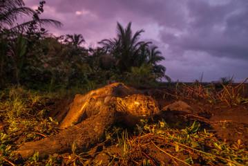 Green sea turtle (Chelonia mydas) emerging from nest. Tortuguero National Park, Costa Rica.
