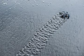 Leatherback sea turtle hatchling. Parismina, Costa Rica.