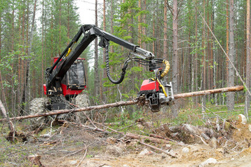 Harvester machine working in a forest, chopping a young pine tree. Northern Karelia, Russia