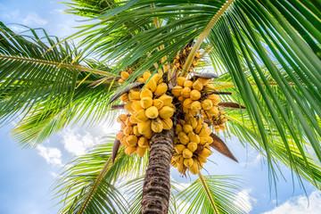 Kokospalme auf einer Kokosnuss Plantage