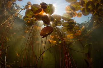 Wall Mural - Lily Pads and Light Underwater in Cape Cod Lake