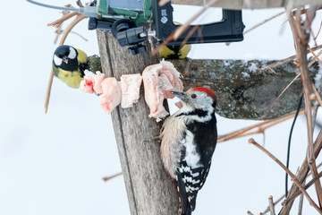 Middle Spotted Woodpecker (Dendrocopos medius).