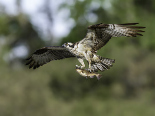 Osprey Bringing Fish to the Nest on Green Background