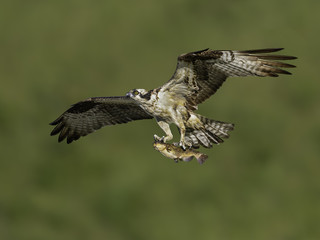 Osprey Flying with Fish on Green Background
