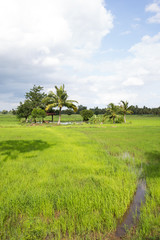 Paddy fields, coconut trees, a gazebo for shelter, and the rain clouds are forming, natural, agriculture, traditional Asian countries, seen as a simple countryside.