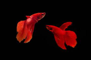 Red betta fish on black background